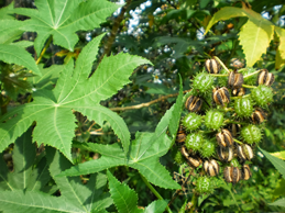 Castor Oil plant with seed pods