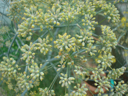 Fennel plant picture
