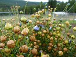 Flax Seed (Linseed) plant with seed heads ripening