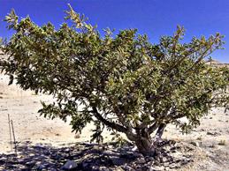 Frankincense plant