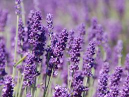 Lavender under cultivation